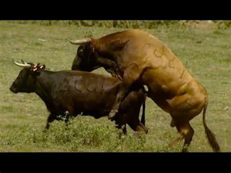 big mating small 2 29mb free big bull mating small cow mp3 mp3 gratis