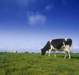Shower Curtains Ireland Friesian Cow Grazing In A Field Photograph By The Irish