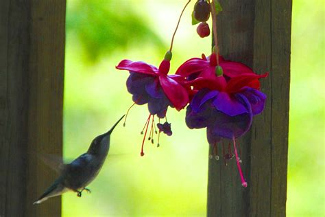 identifying ruby throated hummingbirds photos of