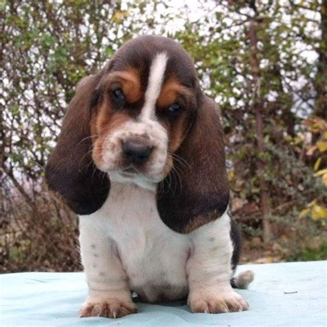 bassett hound puppies basset hound puppies anyone it s time for a cuteness