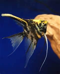 Gold Marbled Angelfish (Freshwater Angelfish).