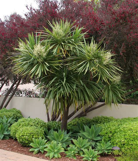 Tropical Planting Scheme - cordyline australis red leptospermum agave attenuata m 233 diterran 233 en jardin santa barbara