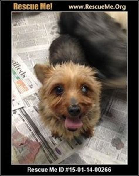 average age of yorkie 1000 images about senior dogs in need of adoption on map it maltese and