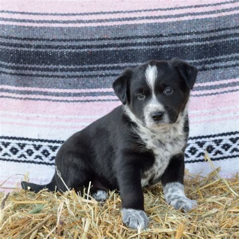 blue heeler border collie mix puppies sweet border collie blue heeler mix puppies craigspets