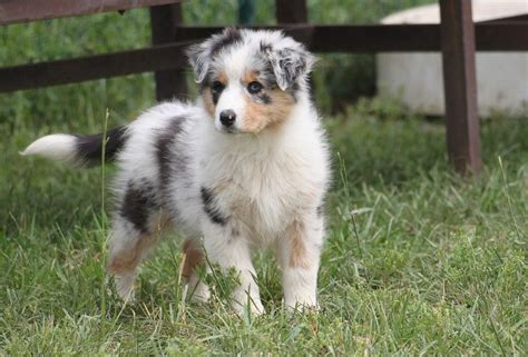 australian shepherd blue merle puppies australian shepherd puppies blue merle wallpaper