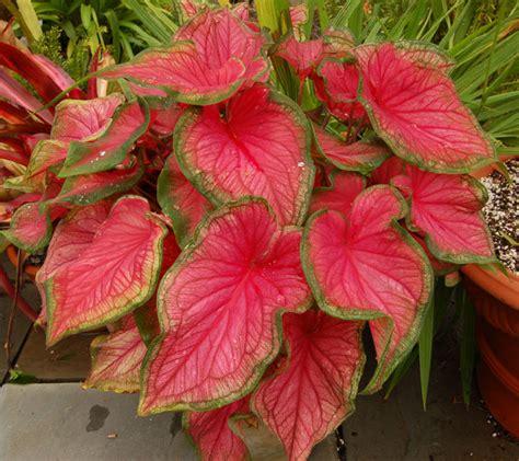 share tanaman hias daun keladi red star caladium
