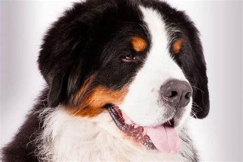bernese mountain puppies ky bernese mountain hind leg injury splint support brace in kentucky ky