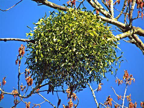 mistletoe meaning  lore   kiss beneath