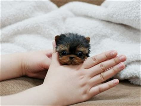 teacup yorkies for sale in new orleans yorkie poo puppies for sale in new orleans louisiana dogs new orleans la free