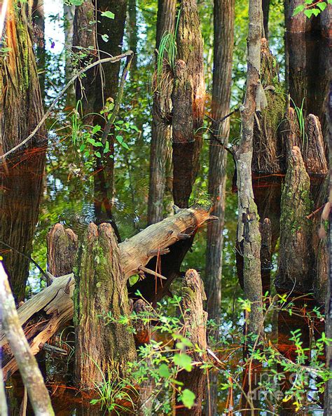 Cypress Knee L by Cypress Knees Photograph By Nancy L Marshall