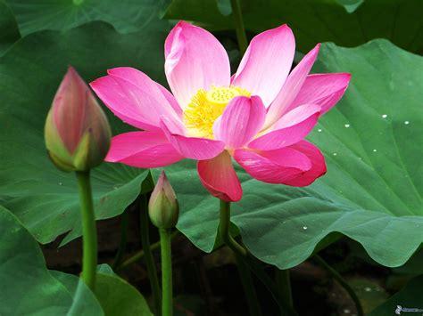 loto fiore fiore di loto