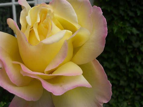 hybrid tea rose wikipedia