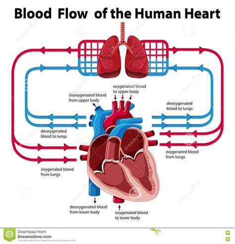 the heart manual my 0061765910 blood flow through the heart step by step diagram choice image diagram writing sle ideas