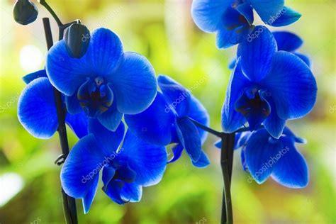 St 2in1 Pretty Blue blue phalaenopsis orchid pretty flowers stock photo 169 lunamarina 13305261