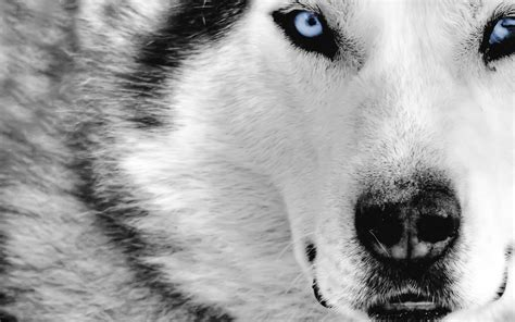 black and white wolf 18 desktop background black and white wolf 19 background hdblackwallpaper com