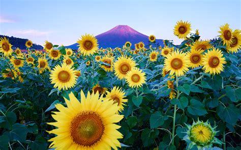 sunflowers background sunflower hd wallpaper background image 1920x1200 id
