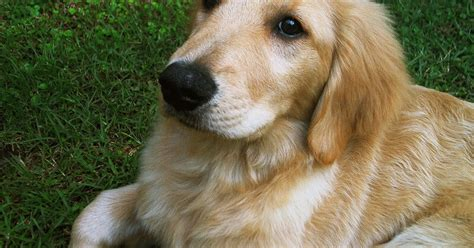 golden retriever types of dogs breeds golden retriever description