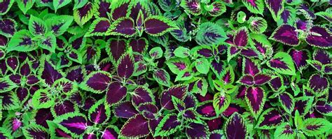 colorful shade plants make shade gardens shine with colorful coleus