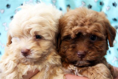 havanese breeder california havanese puppies for adoption breeds picture