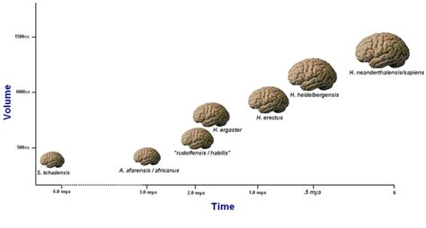 size of brain increase in brain size language evolution biocultural evolution