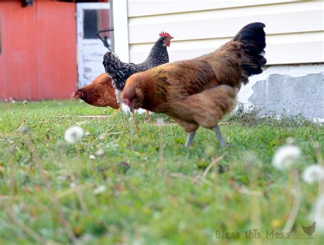 backyard chickens raising backyard chickens bless this mess