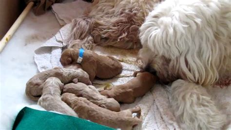 goldendoodle puppies new new born goldendoodle puppies
