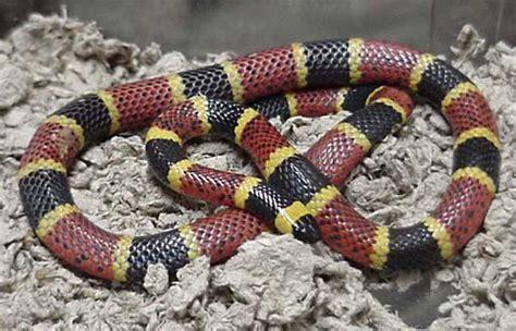 Korek King Yellow Ular Plus Asbak serpent corail en images dinosoria