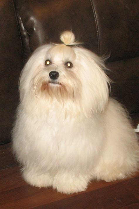 havanese information pin havanese breed information on