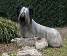 how to cut a skye terriers hair skye terrier by neptunecocktail via flickr paws and