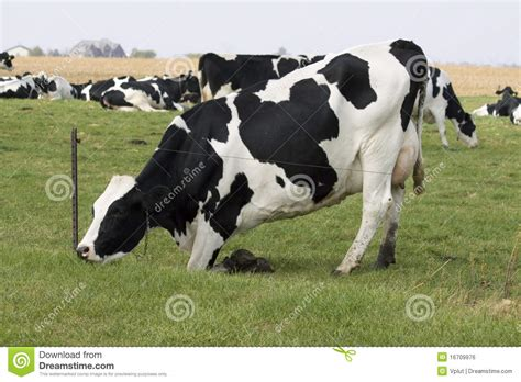 black and white cow stock photo image of udder white