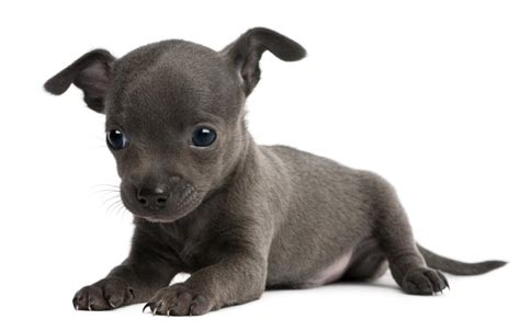 blue chihuahua puppies things to about the blue chihuahua before getting one as a pet