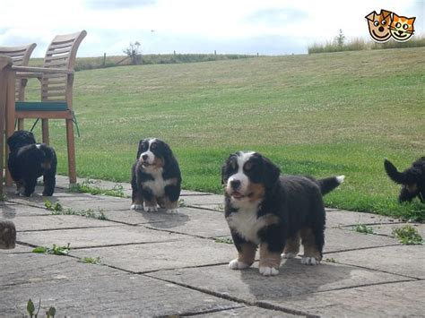 bernese mountain for sale bernese mountain pups for sale bath somerset pets4homes