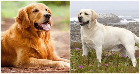 are golden retrievers labs pet dogs cats fishes and small pets golden retriever vs labrador