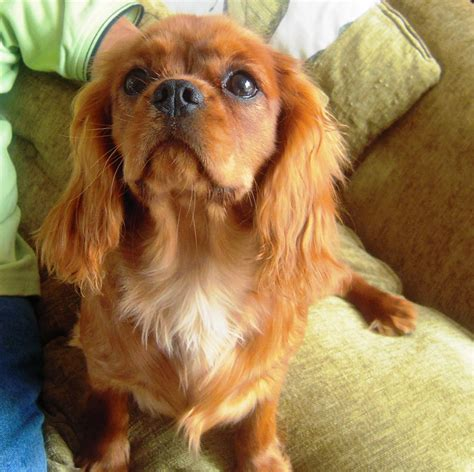 spaniel puppies michigan cavalier king charles spaniel picture michigan breeders guide