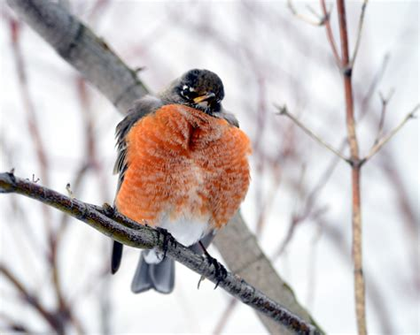 how do robins keep warm in winter