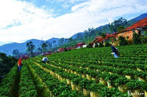 profil wisata kebun strawberry ciwidey bandung