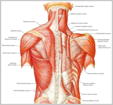 diagram of back muscles muscles in lower back diagram human anatomy system