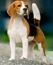 American Foxhound - Pictures, Diet, Breeding, Life Cycle ...