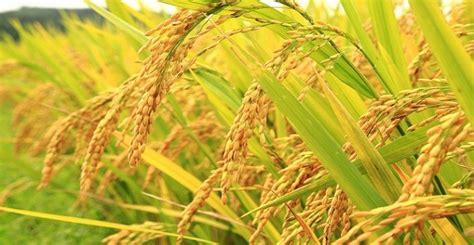 panduan lengkap budidaya padi organik nasa kabartani
