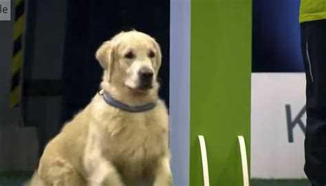 golden retriever obedience competition four legged guru pet adoption and tips
