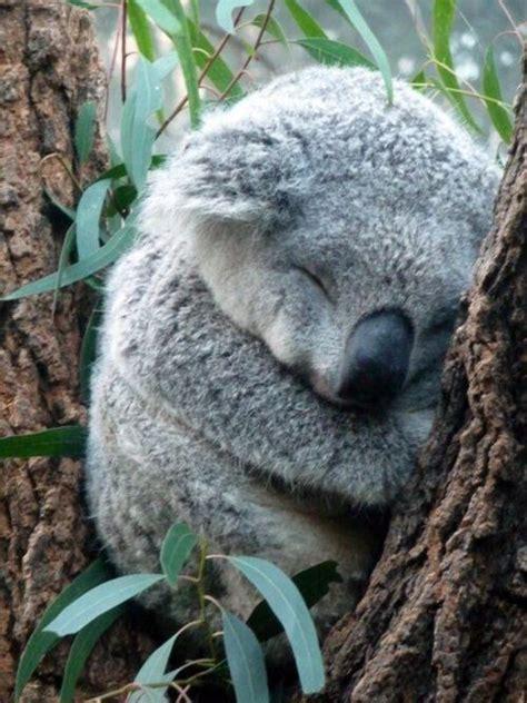 dormire abbracciati al cuscino pi 249 di 25 fantastiche idee su animali che dormono su