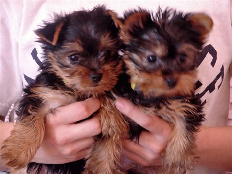 yorkie terriers for free pin four yorkie puppies for free adoption sale on