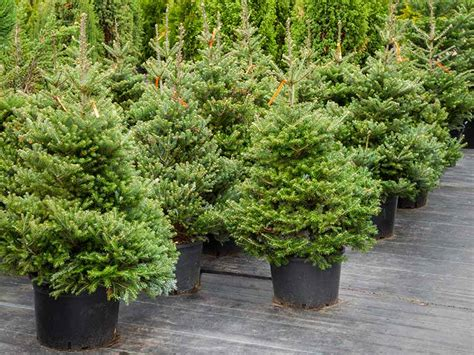 how to buy the best real christmas tree saga