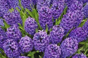 hyacinth flower photos of nature photos of hyacinth flowers