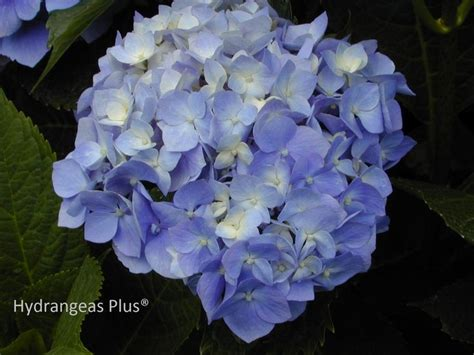 1924 best images about hydrangeas 1 on pinterest hydrangea flower hydrangea care and