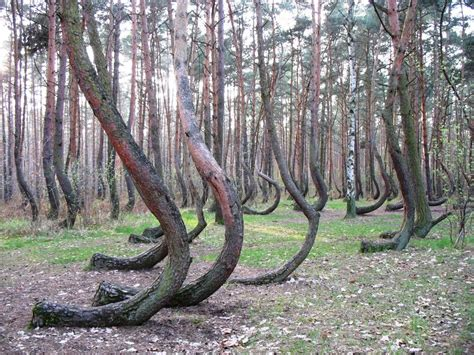 crooked forest poland corrosive canvas crooked forest gryfino poland