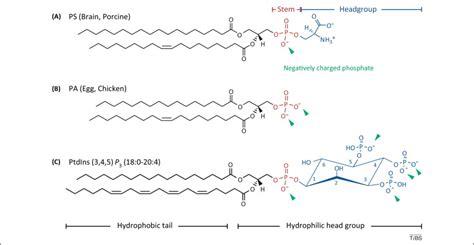 ionic proteinlipid interaction   plasma membrane
