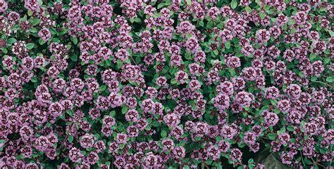 coltivare piante aromatiche in vaso piante aromatiche in vaso come e quali coltivare