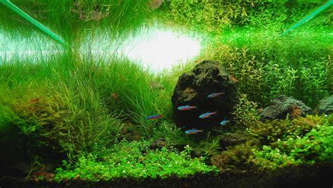 Udang Hias N Pemakan Algae Cherry kalakay murag foto foto aquascaping