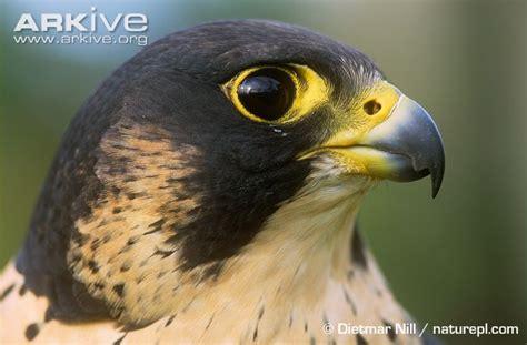 images of a falcon peregrine falcon photo falco peregrinus g41076 arkive